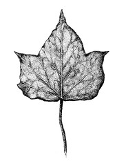 Hedera Leaf (or Ivy if you prefer that) (Sigrid Frensen) Tags: plant nature pen ink garden botanical leaf drawing hedera klimop lierre hederahelix efeu edera huntz botanicalart borostyn murgrna bluszcz efy  hedero vedbend  beanpopnav gebenlipik muratit wantergrng