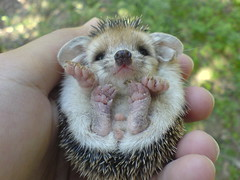 Cute Smile (BlueLunarRose) Tags: cute nature animal explore hedgehog lovepeace soe cuteanimal cherryontop platinumphoto anawesomeshot impressedbeauty theunforgettablepictures thatsclassy hedg ilovemypics qualitypixels damniwishidtakenthat goldenheartaward ghacontest