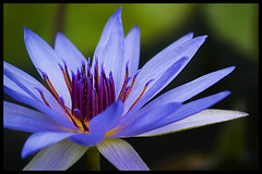 Ao no requiem (Eric Flexyourhead) Tags: blue flower green japan waterlily lily lotus bokeh vibrant vivid colourful kakegawa kachoen zd olympuse500 40150mm shizuokaken tippingmyhattohajimechitose mostplayedsongonmyipod