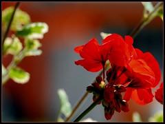 balcony (kubse) Tags: red flower bokeh balcony sigma 150 rauris