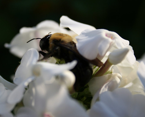 Bumble Bee in phlox