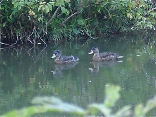 serene-ducks