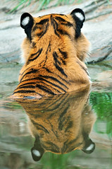 Tiger reflection (Tambako the Jaguar) Tags: wild reflection male water swim cat zoo schweiz switzerland big nikon bath feline stripes tiger zurich young kitty coto ears son symmetry bigcat frombehind hero winner zrich siberian wildcat tigris tigre striped felid d300 panthera pantheratigris impressedbeauty aplusphoto flickrbigcats herowinner