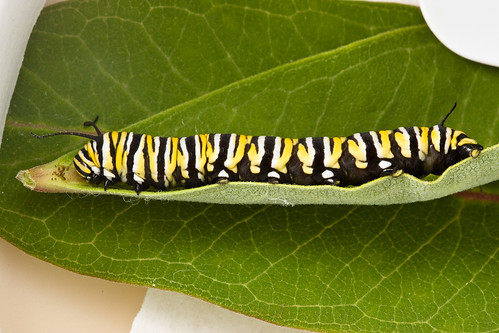 Monarch Butterfly caterpillar (Danaus plexippus) - 5th Instar