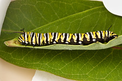 Monarch - 5th Instar