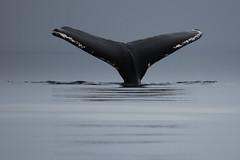 DSC_0362 - editedP (claybay) Tags: feeding tail whale humpback fin 123nature