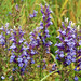 Great Blue Lobelia - Photo (c) Peter Gorman, some rights reserved (CC BY-NC-SA)