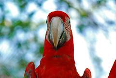 Macaw mug shot (Angeluz888    ) Tags: red bird nature nikon bokeh vivid parrot explore sg macaw soe d80 golddragon mywinners abigfave nikond80 aplusphoto betterthangood theperfectphotographer angeluz888 ilovemypics colorfulmacaw rubyphotographer qualitypixels angeluzphoto macawmugshot