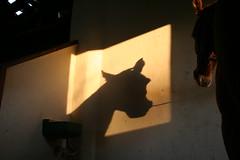 Faruk (Ma Migliano) Tags: shadow pordosol horse arabe cavalo pferd cocheira hipismo arabepolones