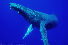 Too Close (JacksonWong) Tags: sea 3 canon logo 1 underwater mark iii scuba diving whale whales humpback niue wetpixel novaeangliae megaptera