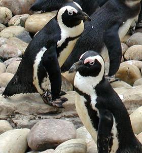 Pinguino Spheniscus Demersus: non Marco ovviamente, ma un suo parente