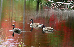 autumn geese (Muffet) Tags: autumn nature ilovenature geese autumncolors waterfowl applewood boxboroughma