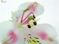 Astromelia (Vane ) Tags: pink vanessa white flower blanco photography amrica 10 venezuela sony flor rosa sur fotografia vane h2 hernandez venezuelan latinamerican suramerica latinoamrica lagerstroemiaindical astromelia dsch2 vnss vanessahernandez vanhercar14 vnsschc