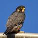 Neomi Jo (Peregrine Falcon)