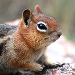 Golden-Mantled Chipmunk