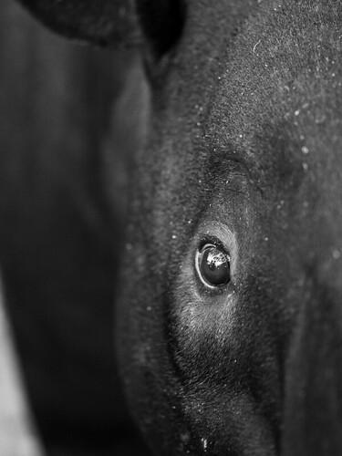 Tapir Eyes