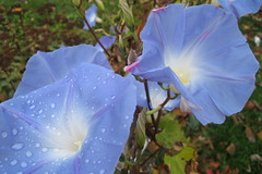 morningglories1IMG_1638