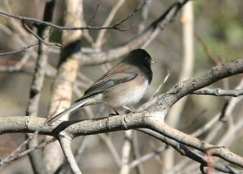 Oregon Dark-eyed Junco (Junco hyemalis)