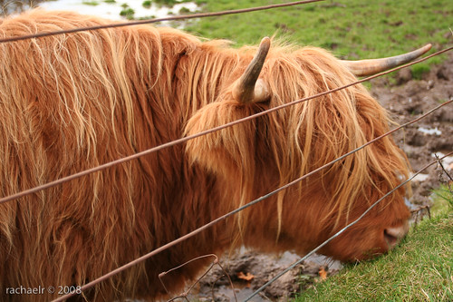 Highland Cattle, Loch Lomond
