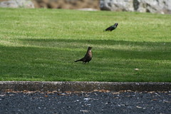 IMG_2749 (Patterns and Light) Tags: turdusmerula blackbird thrush