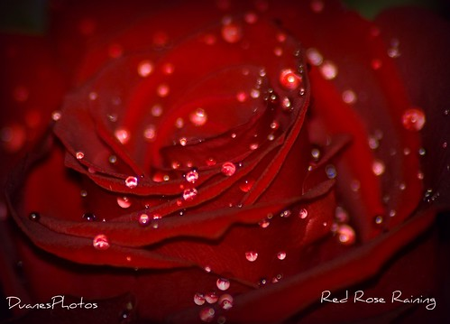 Red Rose Raining