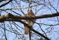 DSC09842: Hawk (RMStringer) Tags: wild stilllife bird nature hawk depthoffield stlouiszoo dslr predator forestpark naturephotography stlouismo theamount sonyalphalearningcenter sonyphotographing stlouisdslrgroup minolta35105mmf3545 102mpsonyalphadslra200 httpartifactsglitchtlaccesspointstxt