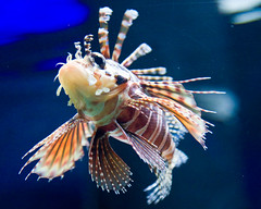 Lion Fish (mungerwhat) Tags: fish canon aquarium lionfish newportor canon40d mungerwhat