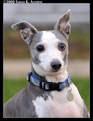 Bowie, the Italian Greyhound with one blue eye (Rock and Racehorses) Tags: blue friends dog greyhound brown eye bowie italian rip blueeye davidbowie italiangreyhound davidbowieeyes ultimateshot betterthangood ska9335 rip2010