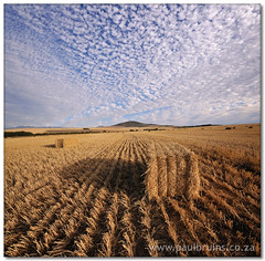 Puffed Wheat (Panorama Paul) Tags: bravo soe durbanville wheatfield novideo blueribbonwinner nohdr shieldofexcellence nikfilters anawesomeshot infinestyle vertorama nikond300 damniwishidtakenthat wwwpaulbruinscoza