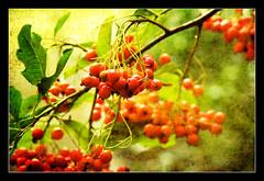 Bountiful (Gary*) Tags: winter red tree art texture berries dof bokeh ps lovephotography 40d mywinners lumf overtheexcellence micarttttworldphotographyawards micartttt