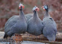 Guinea Fowl (Piedmont  Environmental  Council) Tags: birds hen guineafowl pec albemarlecounty piedmontenvironmentalcouncil