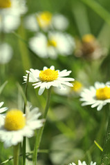 White and green (Rania Ayoubi) Tags: flowers winter france flower green nature fleur rose yellow fleurs nikon lyon vert chrysanthemum parc blanc printemps photographier    2011 d90   nikond90