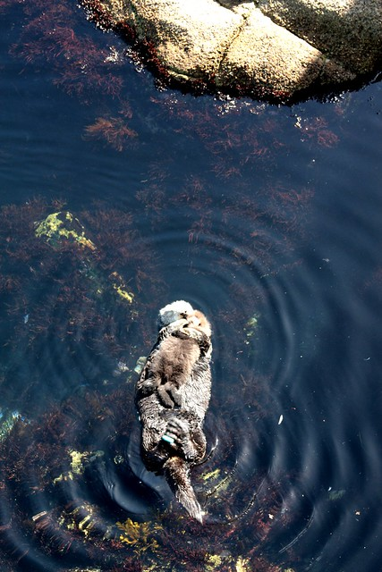 Sea Otters, Monterey