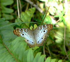 White Leopard Butterfly (Upstate Dave) Tags: florida butterflys whiteleopard fakahatcheestrand