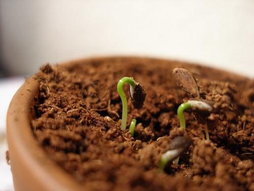 Spruce seedlings 2