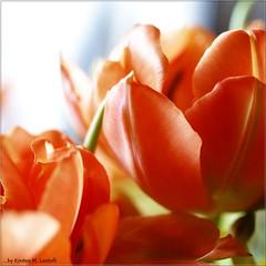 In the sun (Kirsten M Lentoft) Tags: light orange flower bravo tulips excellence themoulinrouge goldenglobe supershot flowerotica anawesomeshot colorphotoaward aplusphoto momse2600 irresistiblebeauty superbmasterpiece diamondclassphotographer eliteimages betterthangood thegardenofzen thegoldendreams goldstaraward kirstenmlentoft
