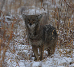 Coyote (Hard-Rain) Tags: coyote mammal illinois prey predator carcass cookcounty palosforestpreserve explore28
