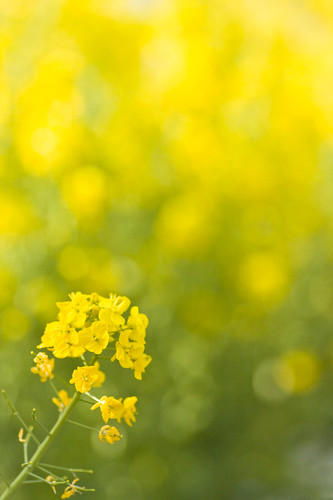 Yellow field *1