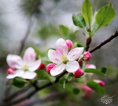 apple blossom special (jaki good miller) Tags: flower apple interestingness blossom explore exploreinterestingness jakigood appleblossom top500 springset flowerset explorepage explored explorepages