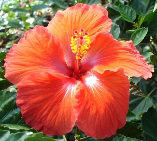red hibiscus hawaii orange hibiscus