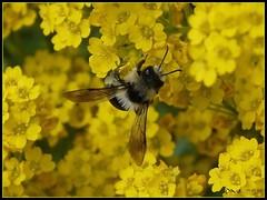 Climbing  (Dave ***) Tags: flower macro nature yellow dave insect bee climbing platinumphoto aplusphoto excellentphotographerawards macromarvels