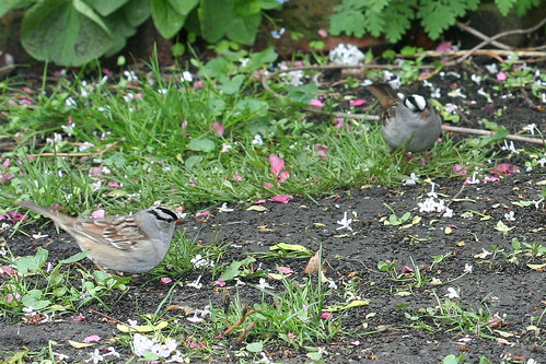 White crowned sparrows--close crop