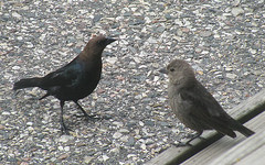 Male and Female Brown Headed Cowbird (JMaryDarling) Tags: brown male female headed cowbird