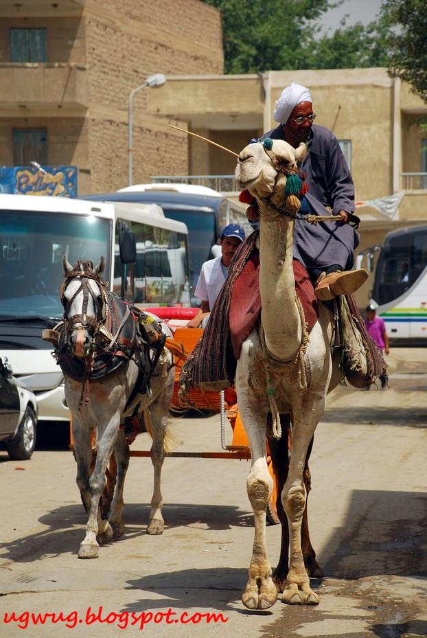 Camel vs horse