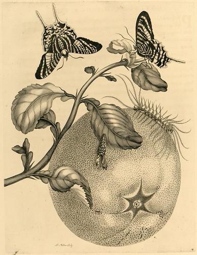 Metamorphosibus Insectorum Surinamensium (p67)