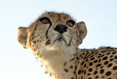 From a Diffrent Angle (Picture Taker 2) Tags: africa wild nature beautiful closeup cat outdoors colorful pretty princess native wildlife bigcat cheetah hunter curious unusual wilderness plains predator upclose cheetahs wildanimals africaanimals masimarakenya wowiekazowie