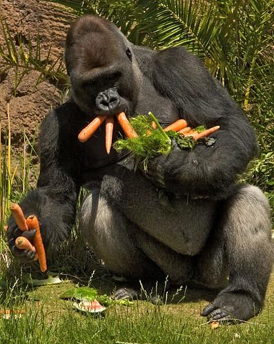 Kelly, el gorila