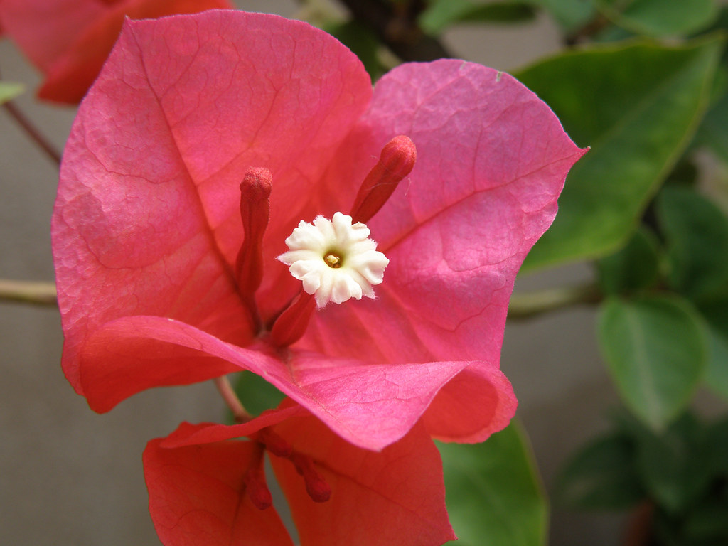 The World S Best Photos Of Bougainville And Summer Flickr