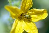 Work in Progress (emeraldcitycreative) Tags: flower nature yellow garden flora colorful outdoor stripes beetle naturallight vegetableflower canonef100mmf28macrousm canon40d
