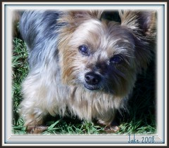 Jake.....10th Birthday portrait ....... (pinklady6... Home ..) Tags: dog pet searchthebest florida playfull yorkshireterrier picnik fourlegs blueribbonwinner supershot ultimateshot brillianteyejewel theperfectphotographer